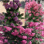 Crape Myrtle Magic Series 6-10' x 6-10'