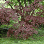 Japanese Maple Burgundy Lace 10' x 10'