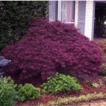 Japanese Maple Crimson Queen 8-10' x 10-12'