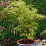 Japanese Maple Kamagata 3-5' x 2-4'