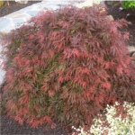 Japanese Maple Orangeola 8-10' x 6-8'