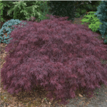 Japanese Maple Red Dragon 6-8' x 6-8'