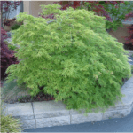 Japanese Maple Viridis 4-6' x 6-8'