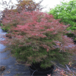 Japanese Maple Watnong 4-6' x 6-8'