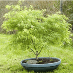 Japanese Maple Koto-no-ito 5-6' x 3-5'