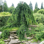 Norway Spruce Weeping