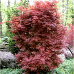 Japanese Maple Skeeter's Broom 6-8' x 3-4'