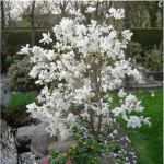 Star Magnolia Merrill/Royal Star 12' x 15'