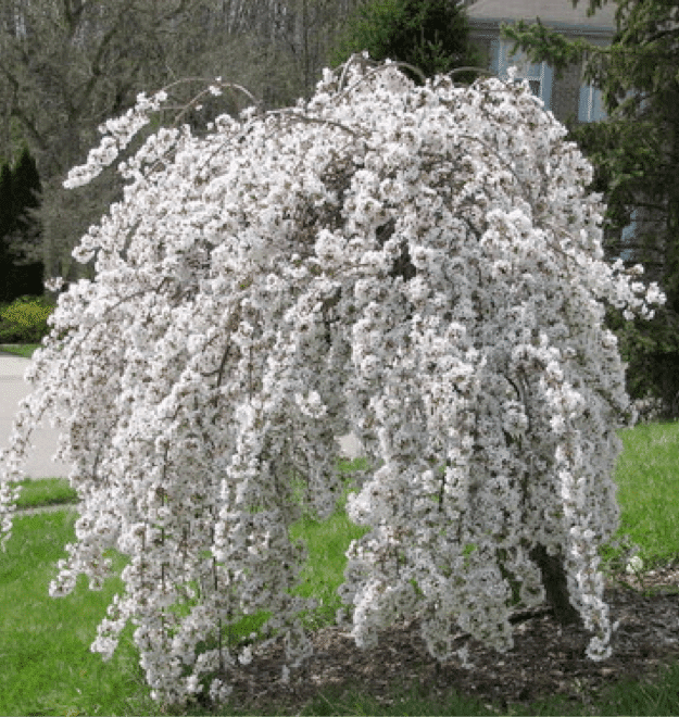 Small trees for small spaces for Small ornamental weeping trees