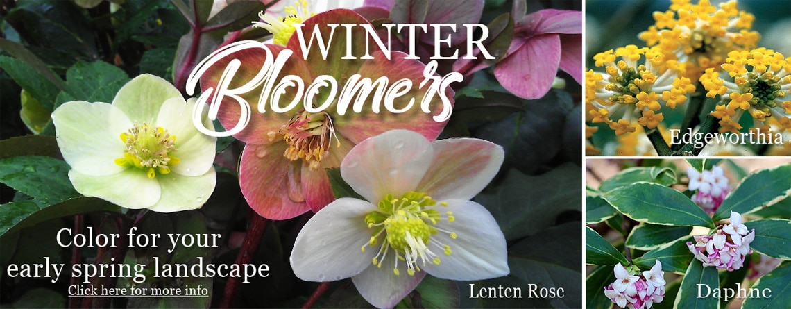 Winter bloomers