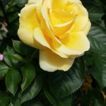 family tree yellow rose