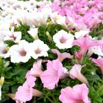 pink and white flowers snellville
