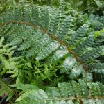 ferns in snellville, ga
