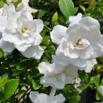small white roses snellville