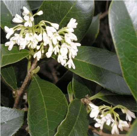 Fragrant Plants