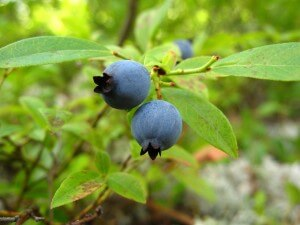 blueberries-509883_1280
