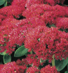 Sedum_Autumn_Fire_235x250