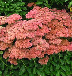 Sedum_Autumn_Joy_235x250