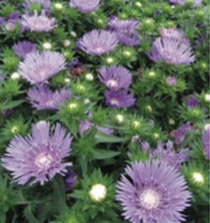 Stokesia_Mels_Blues_235x250