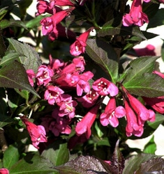 weigela shining sensation