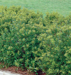 wax myrtle don's dwarf