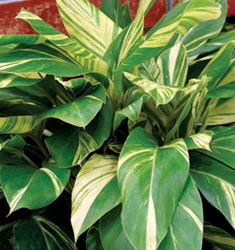 fw_plant_shell_ginger_variegated