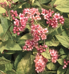 spiraea gold mound