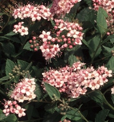 fw_plant_spiraea_little_princess
