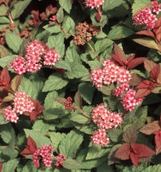 fw_plant_spiraea_magic_carpet