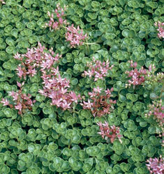 sedum john creech