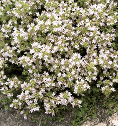thyme pink chintz