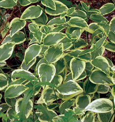 fw_plant_variegated_greater_periwinkle