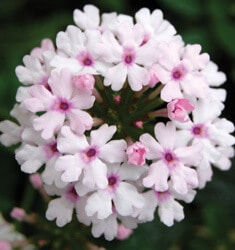 southern_living_plants_verbena_princess_blush