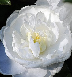 camellia October magic bride