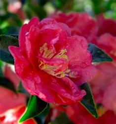camellia October magic rose