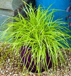 carex everillo