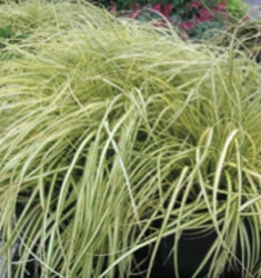 carex oshimensis evercolor everoro