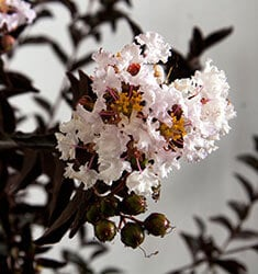 crapemyrtle delta moonlight