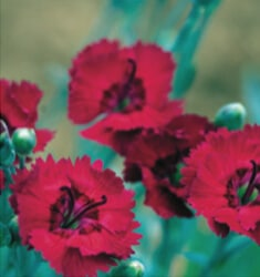 dianthus devon fire star