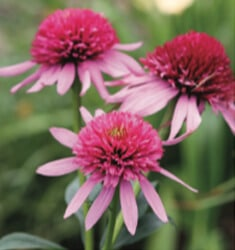 Echinacea_Double_Scoop_Bubble_Gum_235x250