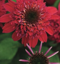Echinacea_Double_Scopp_Raspberry_235x250