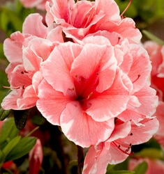encore azalea autumn sunburst