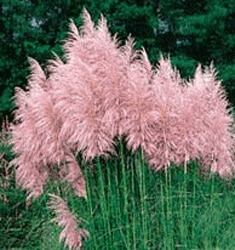 FW_Plants_Pampas_Grass_Pink_235x250