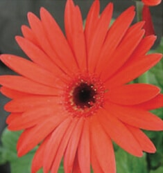 gerber daisy revolution orange