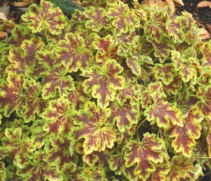 Heucherella_Solar_Power