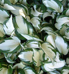 Hosta_Fire_and_Ice_235x250