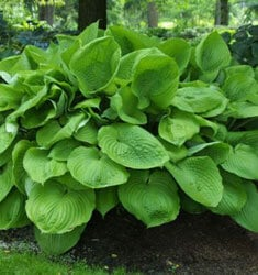 Hosta_Sum_and_Substance_235x250