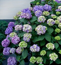 hydrangea endless summer bloomstruck
