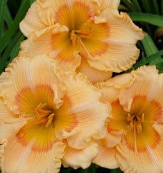 jof of living daylily celebration
