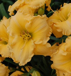 joy of living daylily goldie locks